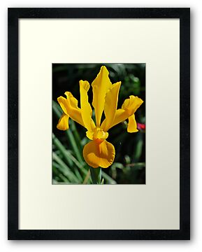 Yellow Iris by Penny Smith