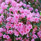 Azalea Bunch by Penny Smith
