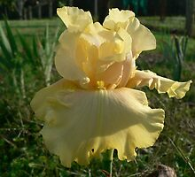 Lanai - Bearded Iris by louisegreen