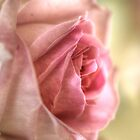 Pink Rose by Nicole W.