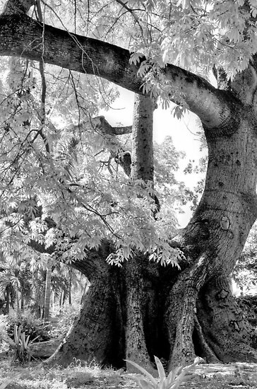 Cotton tree on Shirley Street in Nassau, The Bahamas by 242Digital