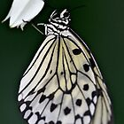 Hanging Butterfly by VWSWAG