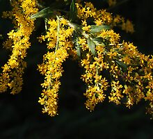 Goldenrod by Linda  Makiej