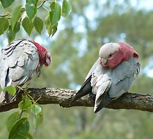 Preening and Cleaning Galahs by Margaret Stockdale
