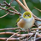 Aww...Don't Be Sad... We Will Be Back - Silver-Eye - NZ by AndreaEL