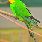Barraband Parkiet / Superb Parrot by Jacqueline van Zetten