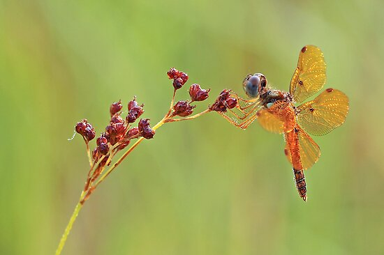 Eastern Amber Wing Dragonfly by Bonnie T.  Barry