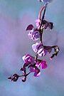 Hyacinth bean by Eileen McVey