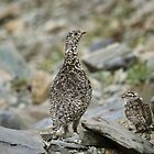 Rock Ptarmigan &amp; chick by Marty Samis