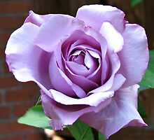 Sunlit Blue Moon Rose by BlueMoonRose