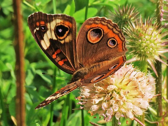Buckeye on Teasle by Ron Russell