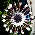 Osteospermum Flower by Penny Smith