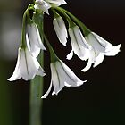 Snowdrop Bloom by Joy Watson