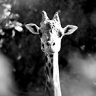 giraffe by Marianna Tankelevich