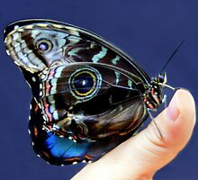 Blue Morpho Butterfly by vette