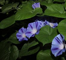 Morning Glories in the Garden by aprilann