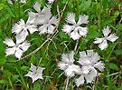 Wild Dianthus in Croatia by Graeme  Hyde
