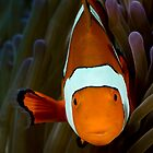 Clown Anemone Fish by allyazza