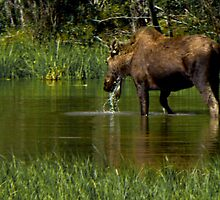 Cow Moose along Alaska Highway by Yukondick