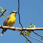 Yellow brested Robin by valdez
