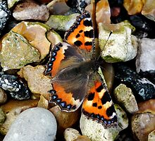Small Tortiseshell Butterfly by Susan Ann Dowling