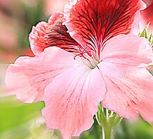 dianthus chinensis by Angela Bruno