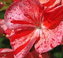 Zonal Geranium named Mosaic Red by JMcCombie