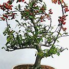 Pyracantha bonsai iPhone Cover by Betty Mackey
