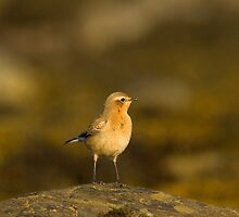 Wheatear by Jon Lees