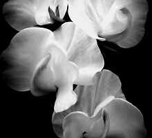 Sweet-pea on black  by Livvy Young