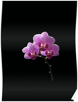 Orchid against black by Olga