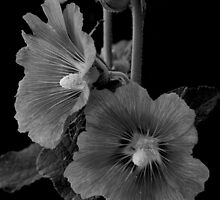 Hollyhock Duet by Vicki Pelham