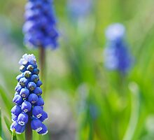Grape hyacinths by Manon Boily