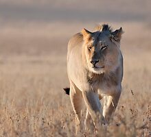 Lion by jeff97