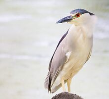 Black Crowned Night Heron by michelsoucy