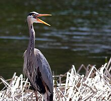 A happy Great Blue Heron by michelsoucy