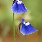 Utricularia purpurascens  by neneaniket