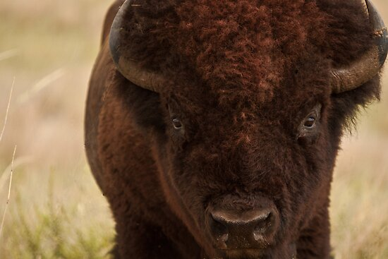 North American Bison by Adrian Olivera
