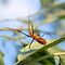 Milkweed Assassin Bug by Dawne Dunton