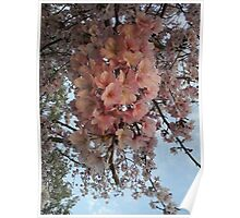 Cherry Blossoms 61 Poster
