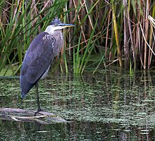 Great Blue Heron on a log by michelsoucy