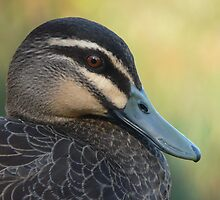 Pacific Black Duck - Formal Portrait by stevealder