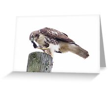 Redtail Hawk finishing a meal Greeting Card
