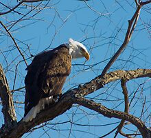 Bald Eagle with blue sky by michelsoucy
