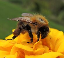 Bumble Bee 13 by Magic-Moments