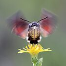 Humming-bird Hawk-moth by jimmy hoffman