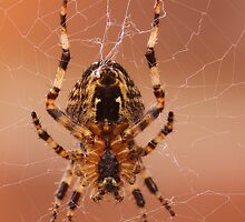 Teeny Weeny Spider by Paul Bettison