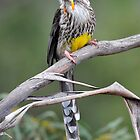 Yellow Wattle Bird at Ansons Bay in the Bay of Fires, Tasmania by Alwyn Simple