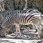 Stripes (poster style hdr) by Cheri Sundra