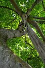 Aerial Roots on this tree in Nassau, The Bahamas by 242Digital